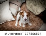 Stock photo cute puppy jack russell 177866834