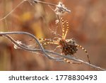Beautiful Spider On A Spider...