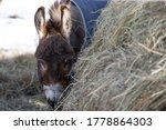 Miniature Donkey Eating A Bale...