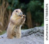 Little Cute Prairie Dogs In The ...