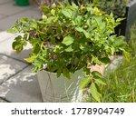 Growing A Bush Of Potatoes In ...