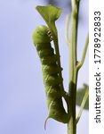 Close Up Of Tomato Horn Worm O...