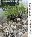 backyard red mangroves in the Florida keys