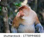 Close Up Alpha Male Proboscis...