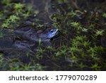 Moor Frog - Rana arvalis, beautfiul special frog from Euroasian fresh waters, Moravia, Czech Republic.
