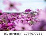 Colorful Cosmos Flower Garden...