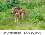 Two Moose Calves In The...