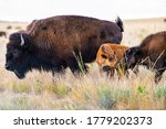 Two Baby Calf Bison Cute...
