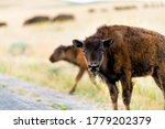 Baby Young Calf Bison Cute...