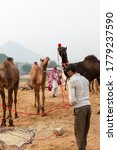 Small photo of PUSHKAR, RAJASTHAN / INDIA - NOVEMBER 2019 : A Rajasthani man or camel owner carrying his decorated camel at Pushkar camel fair ground