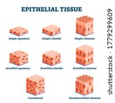 Epithelial Tissue With Labeled...