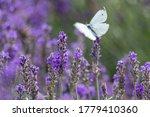 White Butterfly On Purple...