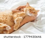 Small photo of Cute ginger cat sleeps on woman's hand. Fluffy pet on unmade bed. Fuzzy domestic animal with owner in cozy home. Cat lover.