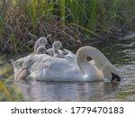 Three Cute Little White Swan...