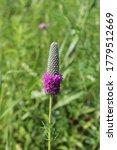Purple Prairie Clover In A...