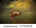 Wild Brook Trout Underwater I...