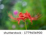 Spider Lilies With Green Leave...