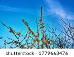 Branches with flowers on the wild plum tree with a blue sky. - stock photo