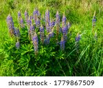 Close Up Of Wild Blue Lupine...