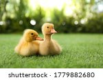 Cute Fluffy Baby Ducklings On...