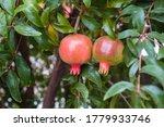 Two Unpine Pomegranate Fruits...