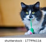 Stock photo fluffy grey and white cat with green yellow eyes with a toy hanging out of it s mouth and looking 177996116
