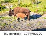 Bison Nursing   Buffalo Nursing ...