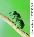 Metalic Green Bee Or Green...