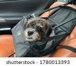 Portrait Of Domestic Pet Dog...