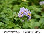 Flowering potato. potato...