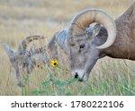 Bighorn Sheep Badland South...