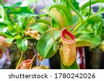 Nepenthes Ampullaria  A...