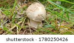 Amanita Rubescens Or The...