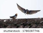 Adult Swallow  Hirundo...