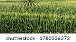 Long Rows Of Tall Green Corn...