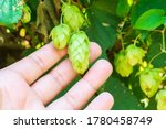 Hops In The Farmer Hand Used...