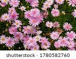 The Field Of Argyranthemum ...