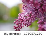 Lilac Flowers Spring Blooming...
