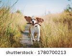 Happy Beagle Dog With Flying...