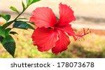 Red Hibiscus In The Garden.