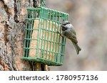 A Cute Mountain Chickadee Feeds ...