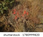 Aloe Flowers On Long Stems In...