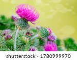 Blessed milk thistle flowers on ...