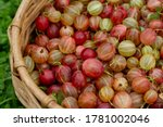 Small photo of Gooseberry Harvest, a crop of ripe gooseberriesin a wicker basket. Berries of red end green gooseberry close-up. Fresh gooseberries us background.