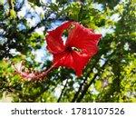 A Red Gumamela Flower From The...