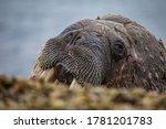 Walruses Beyond The Arctic...