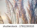 White Reeds Grass Flower Field...