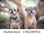 Dog Portrait Border Terrier In...