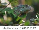 The Green Iguana  Iguana Iguana ...