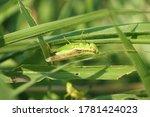 A Green Grasshopper ...